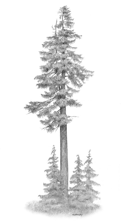 European Spruce - Picea abies (German Spruce, Pino Abeto Europe)